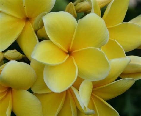 Biji Bunga Kamboja Bali bunga plumeria mix