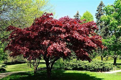 aceri da giardino acero rosso piante da giardino
