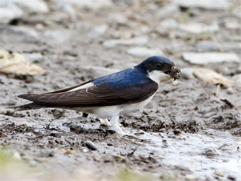common house martin common house martin facts habitat diet predators pictures