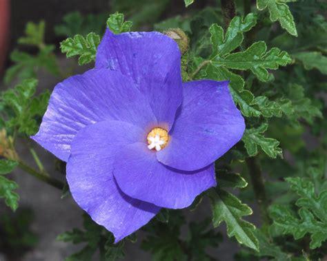blue and purple hibiscus flower rare blue purple hibiscus alyogyne huegelii 12 seeds