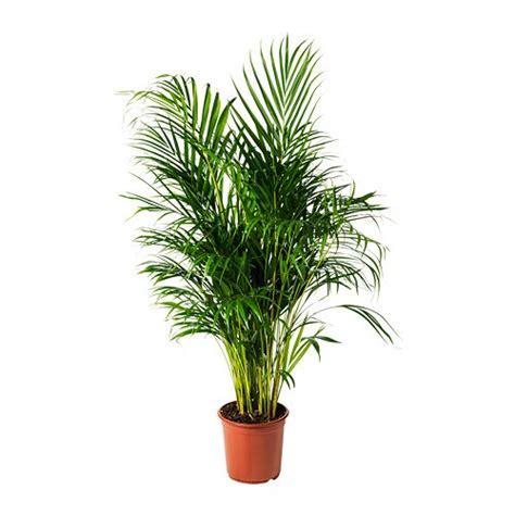 chrysalidocarpus lutescens potted plant ikea