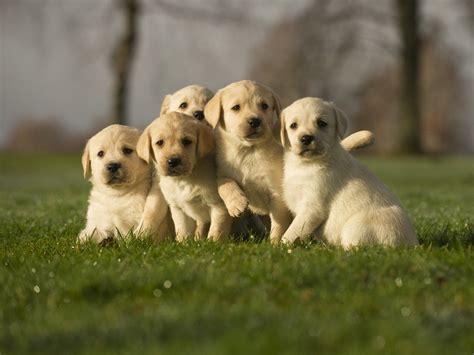 golden labrador puppies for sale golden lab puppies the of the labrador family lovable labradors
