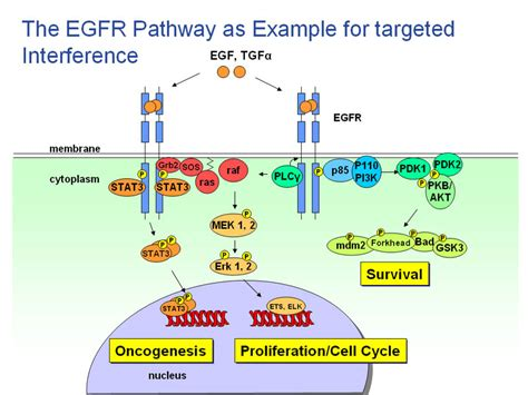 egfr inhibitors compare egfr inhibitors cure diabetes with igf egfr inhibitors what foods cause