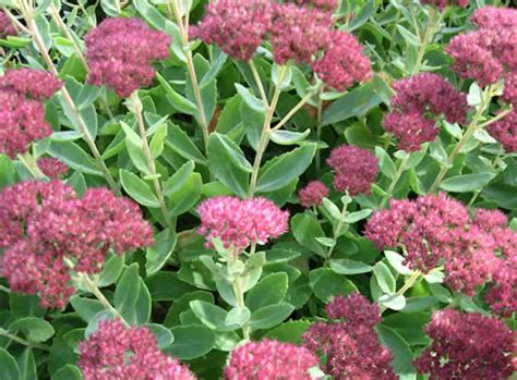 what does succulent mean in the garden with mariani sedum succulent plants from the latin sedere meaning to