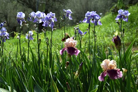 giardino iris firenze giardino dell iris de kleurrijkste tuin florence