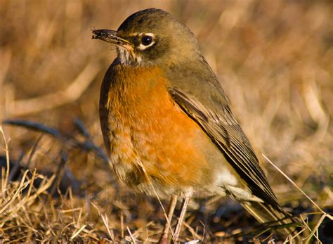 amarican robin thrush free picture from cortes island bc