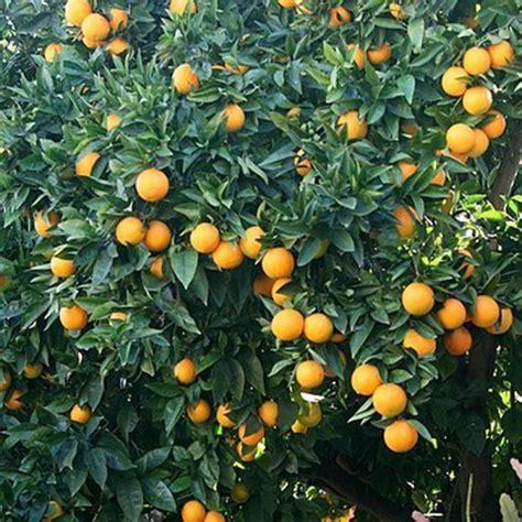year  valencia orange tree