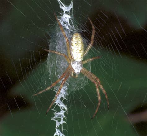 spiders with zig zag pattern on web orb web spiders