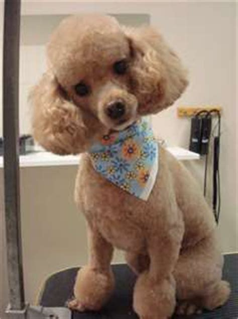 miniature french poodle hairstyles toy poodle teddy bear cut omg sooo cute puppy love