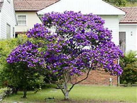 Best Fruit Tree For Backyard Tibouchinas Burke S Backyard