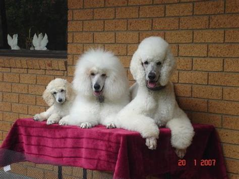 differenct cuts for poodles 121 best poodle cuts clips styles images on pinterest