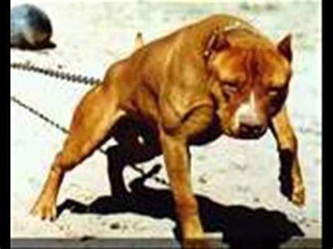 imagenes de animales fuertes top 8 perros mas fuertes del mundo youtube