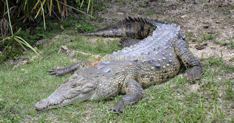 cocodrilo de la cuna cocodrilo americano joya grande zool 243 gico