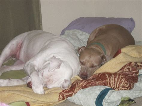 dog beds for pitbulls the happy pit bull blog a unique dog bed solution