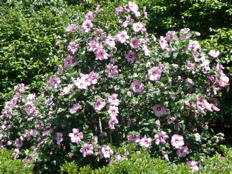 flowering shrubs that bloom all summer aphrodite althea summer flowering shrub lsu agcenter