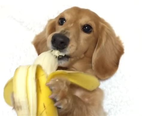 can dogs bananas best 28 can dogs eat bananas access can dogs eat baby bananas this