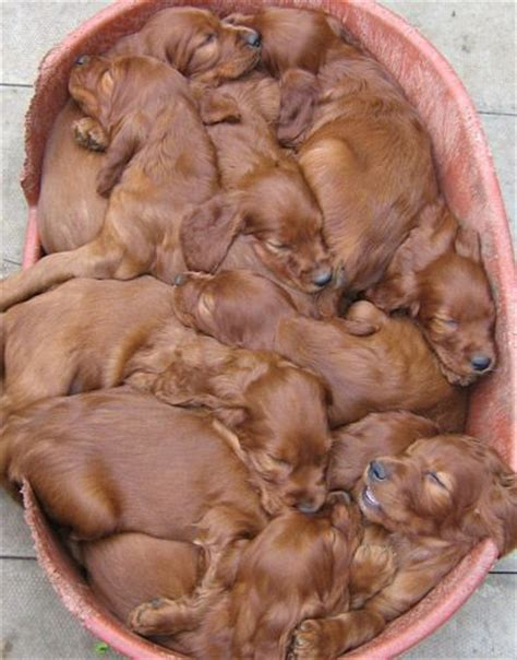 setter puppies ohio ohhhh basket of puppies oh i these sweet babies