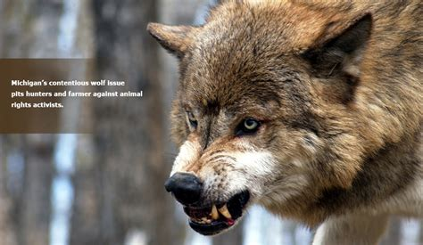 wolf breeds list judge puts wolves at up farmers doors wolves hsus michigan farm news