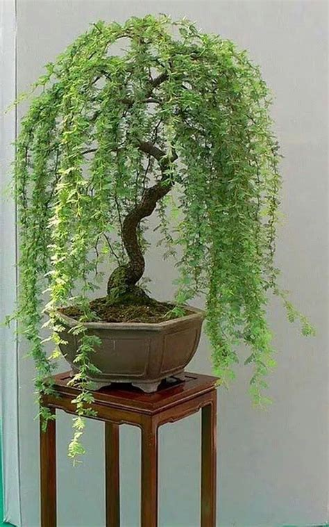 indoor japanese plants llor 243 n japanese bonsai bonsai pinterest bonsai