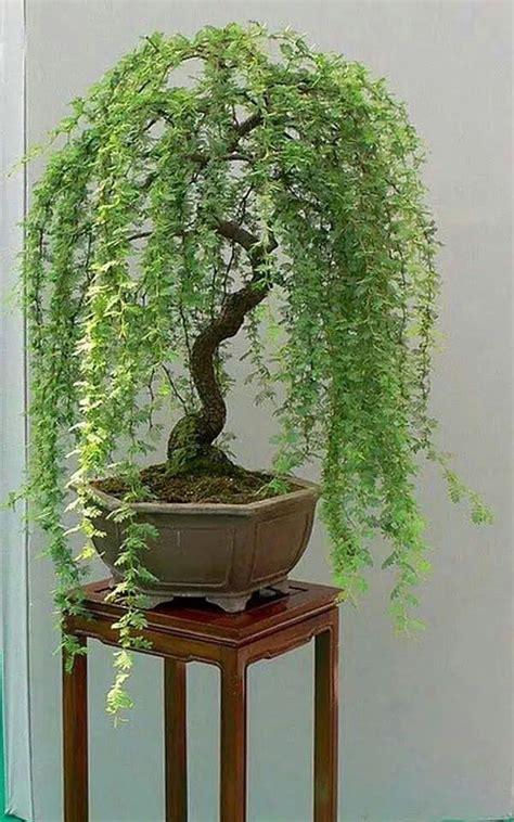 indoor japanese plants llor 243 n japanese bonsai bonsai pinterest bonsai