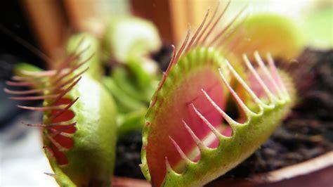 pflanzen zu hause fleischfressende pflanzen f 252 r zu hause 187 sortenauswahl und