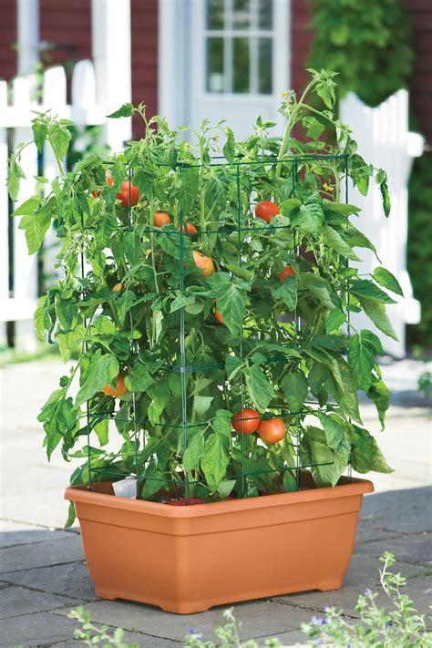 pomodori cuore di bue in vaso orto nel terrazzo orto in terrazzo coltivare l orto in