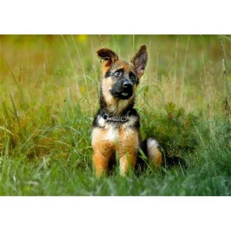 free puppies in maine lebenshunger german shepherds german shepherd breeder in bangor maine