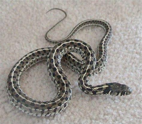 Garter Snake Alabama by File Thamnophis Marcianus Jpg