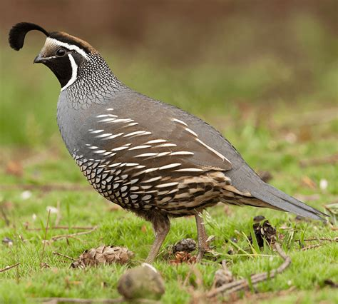california state bird california quail