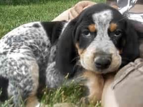 tick hound puppy 25 best ideas about bluetick coonhound on hound hound puppies