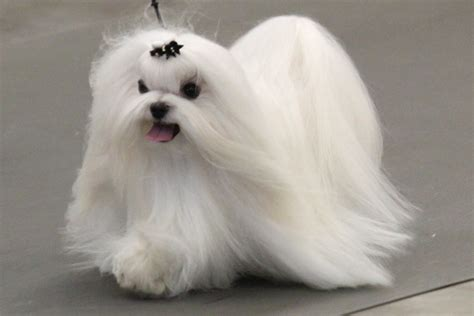 maltese information facts about maltese dogs goldenacresdogs com