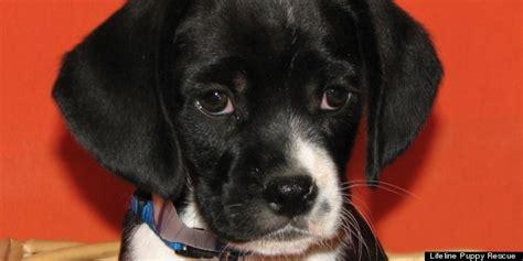 lifeline puppy lifeline puppy rescue adopt a new best friend this week photos huffpost