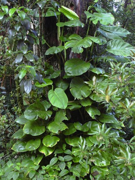 houseplant vine epipremnum aureum growing in the house plants