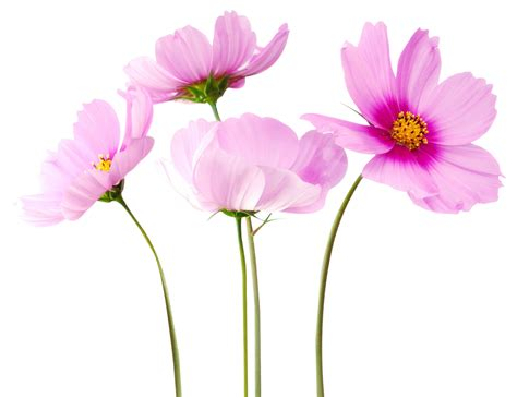 wallpaper flower png cosmea flower png image pngpix