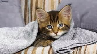 chat sous la couverture