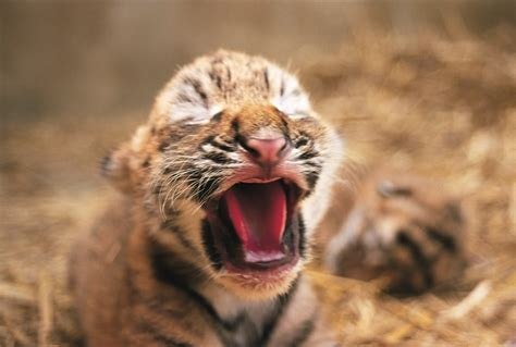 cubs newborn fan club tiger cub tigers photo 1598851 fanpop