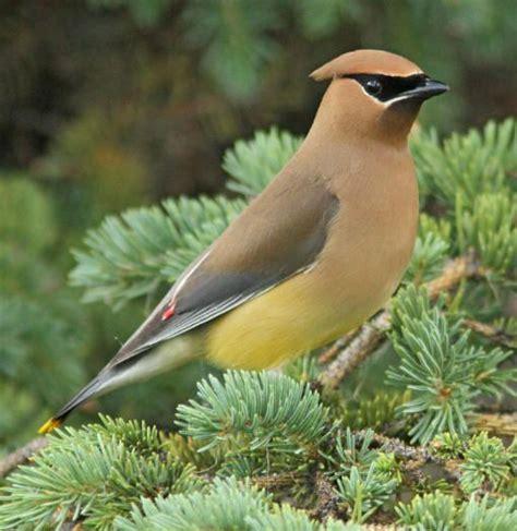 cedar waxwing http 10000birds com cedar waxwing vs