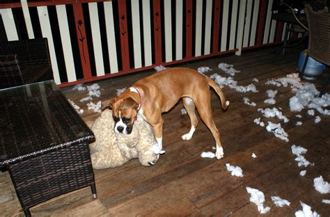 what age do puppies stop biting boxer biting things that you probably don t boxer info and health tips