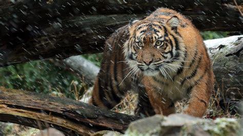 wild sumatran tiger  wallpapers hd wallpapers id