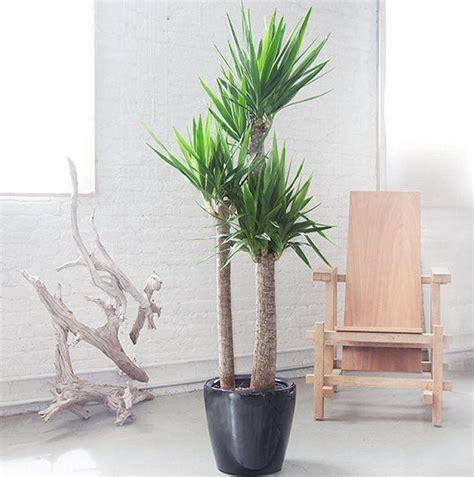 large artificial indoor plants flowers trees yukka yucca elephantipes large specimen indoor yucca tree
