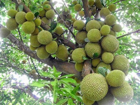Bibit Tanaman Buah Durian Merah 100cm bikin pohon duren anda cepat berbunga kebunpedia
