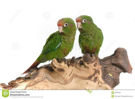 imagenes de loritos verdes loros verdes imagenes de archivo imagen 2203464