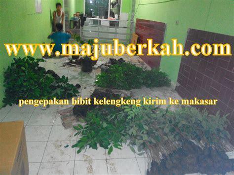 Bibit Kelengkeng Di Madiun pengiriman bibit tanaman ke beberapa daerah dari cv majuberkah
