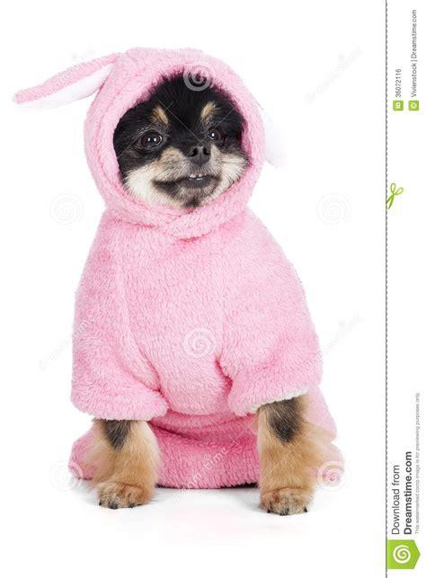 pomeranian in costume pomeranian in rabbit costume royalty free stock image image 36072116
