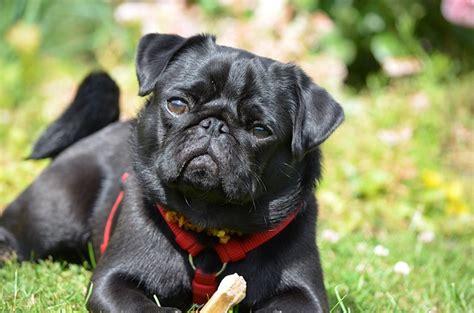 aggressive pug least aggressive breeds dogvills
