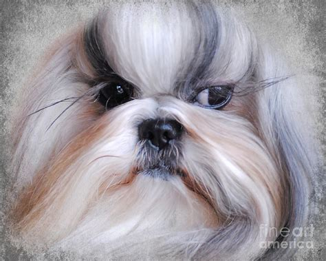 haired shih tzu haired shih tzu breeds picture