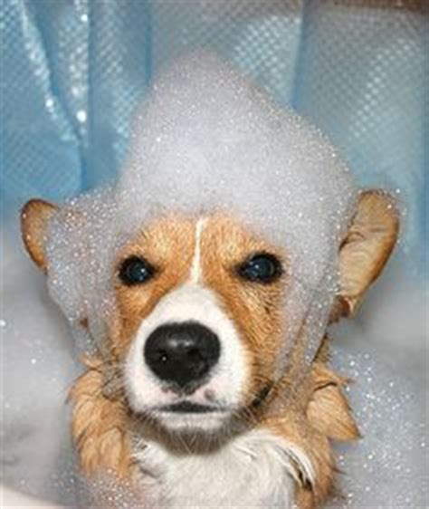 flea bath for dogs 1000 images about fall on fleas for dogs and backyards