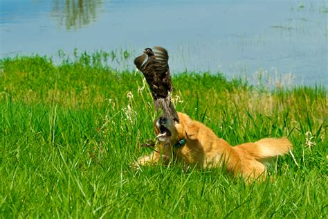 pheasant hill golden retrievers vegas and a black pheasant hill golden retrievers hill golden retrievers