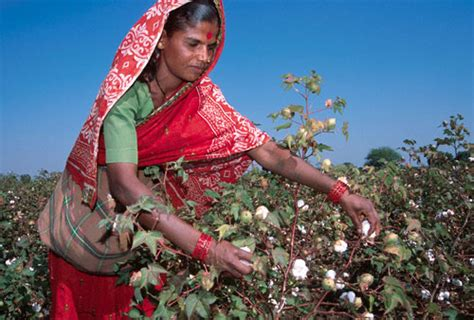 India Bans Fashion Tv Again by India S Ban On Cotton Exports To Hit Bangladesh News
