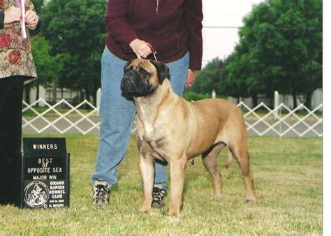 bullmastiff puppies for sale michigan bullmastiff for sale ohio myideasbedroom